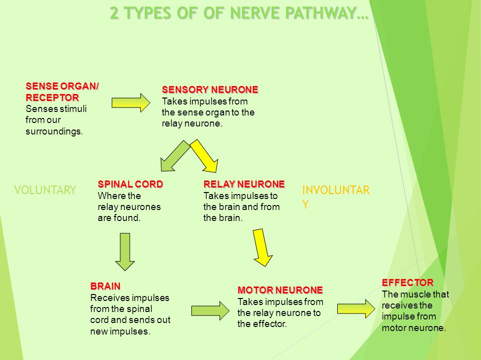 2 TYPES OF OF NERVE PATHWAY…