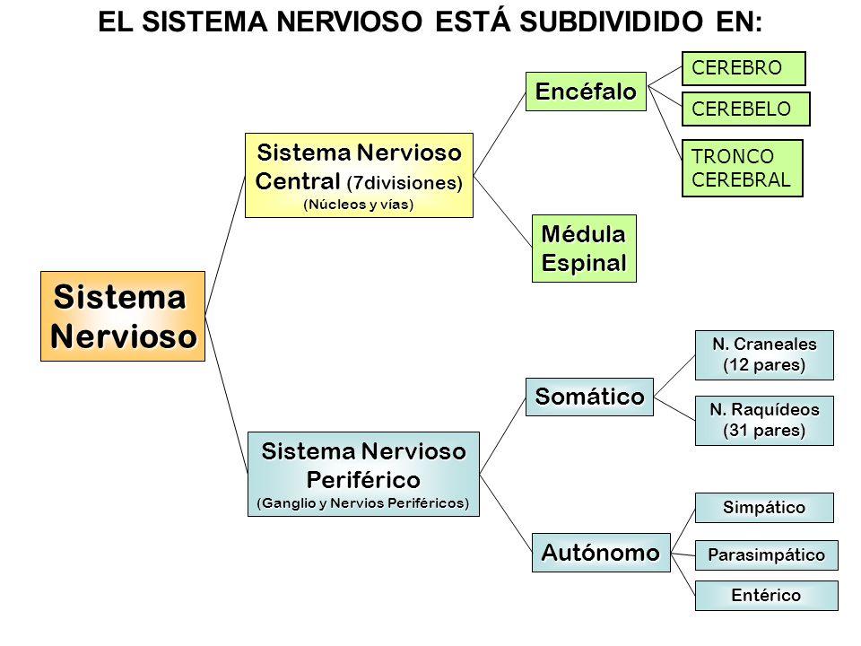 Sistema Nervioso. - ppt video online download