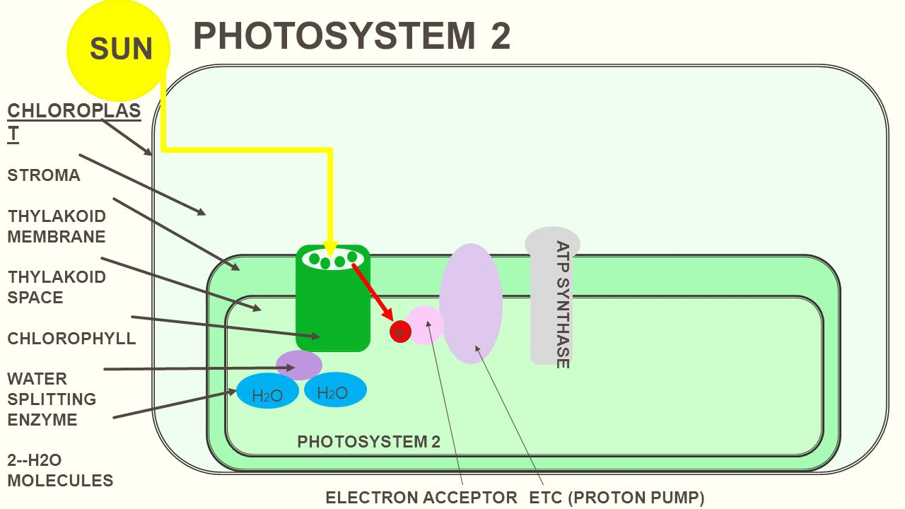 photosynthesis light dependent reactions (light reactions) - ppt
