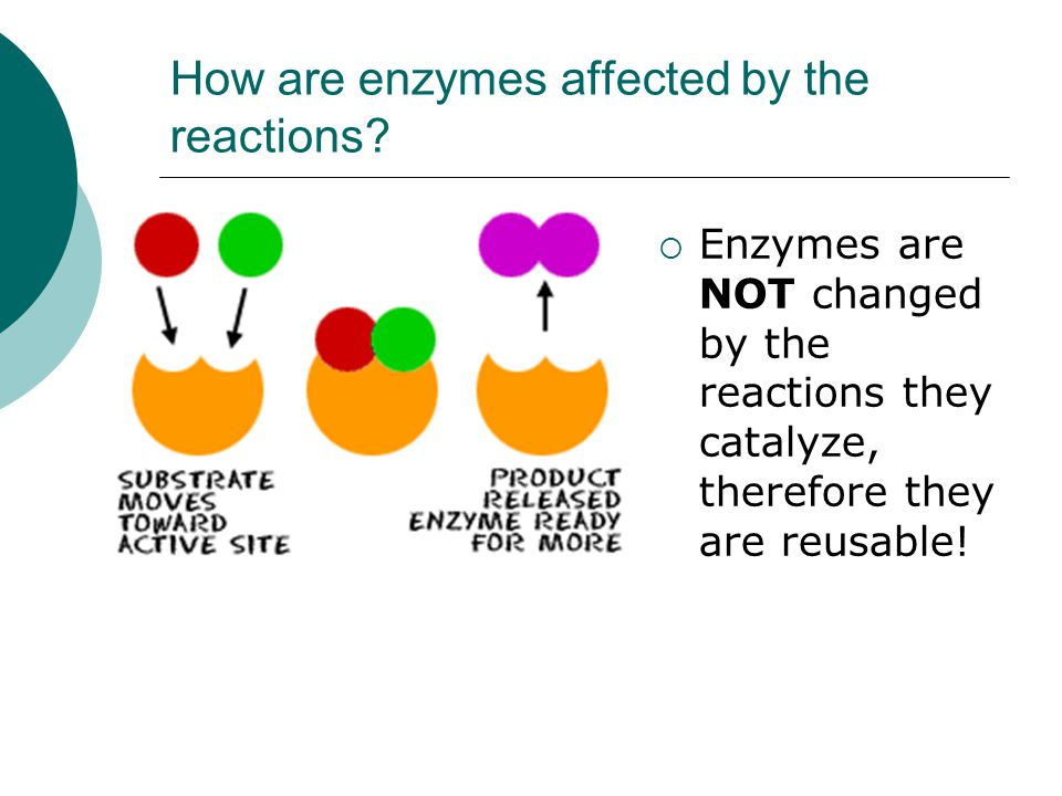 How are enzymes affected by the reactions