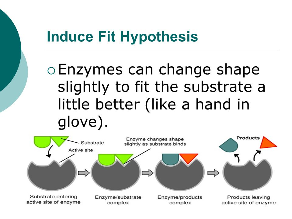 Induce Fit Hypothesis Enzymes can change shape slightly to fit the substrate a little better (like a hand in glove).