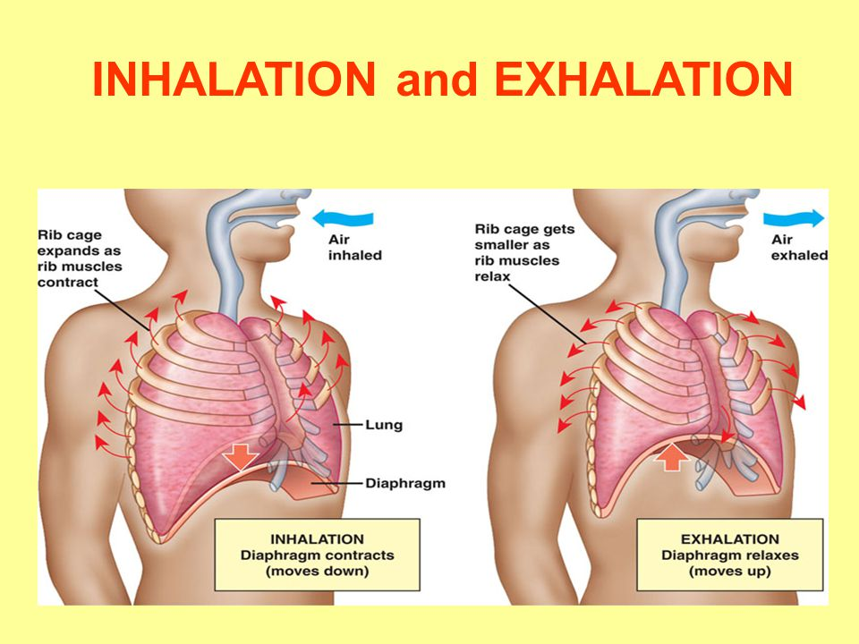 labelled diagram of inhalation and exhalation auto electrical rh 6weeks co uk gas exchange inhaling and exhaling diagram