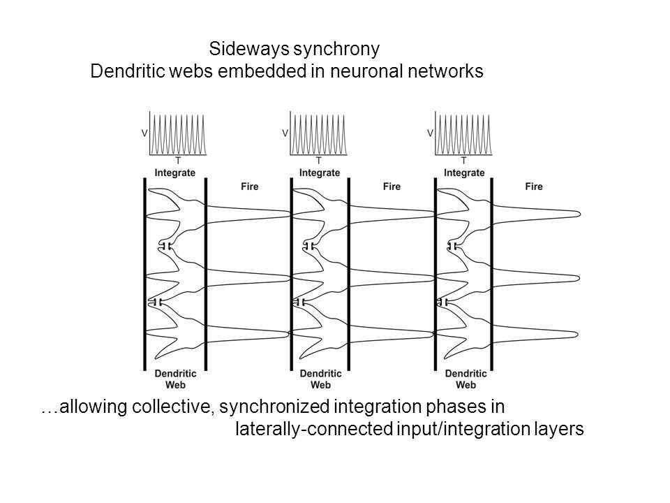 Sideways synchrony Dendritic webs embedded in neuronal networks. …allowing collective, synchronized integration phases in.