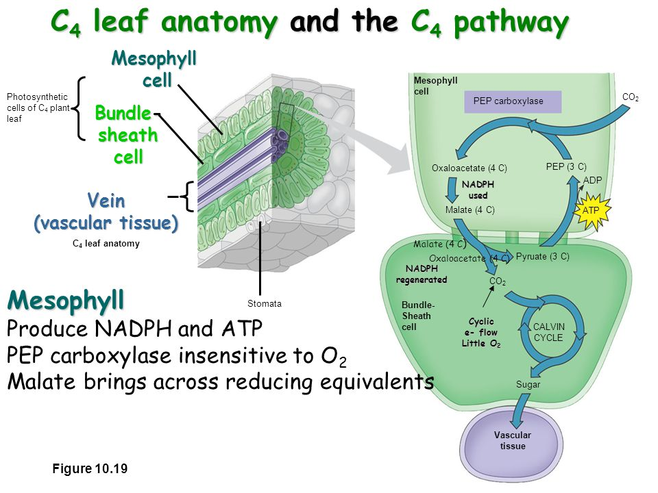 Lecture Oct 10, 2005 Photosynthesis II. Calvin Cycle. - ppt video ...