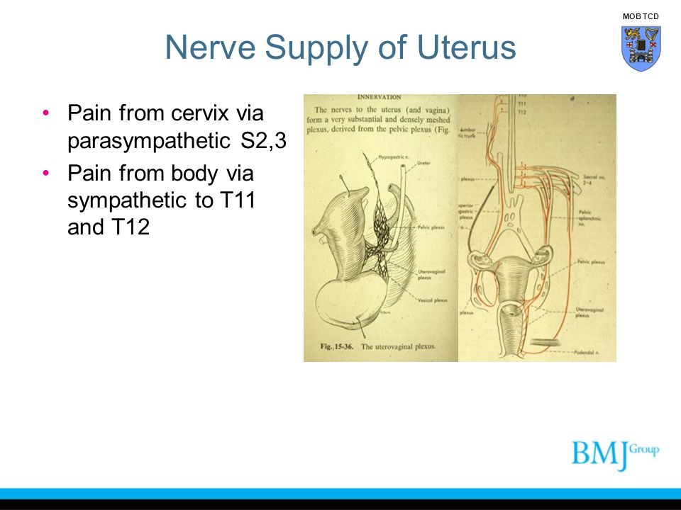 Nerve Supply of Uterus Pain from cervix via parasympathetic S2,3