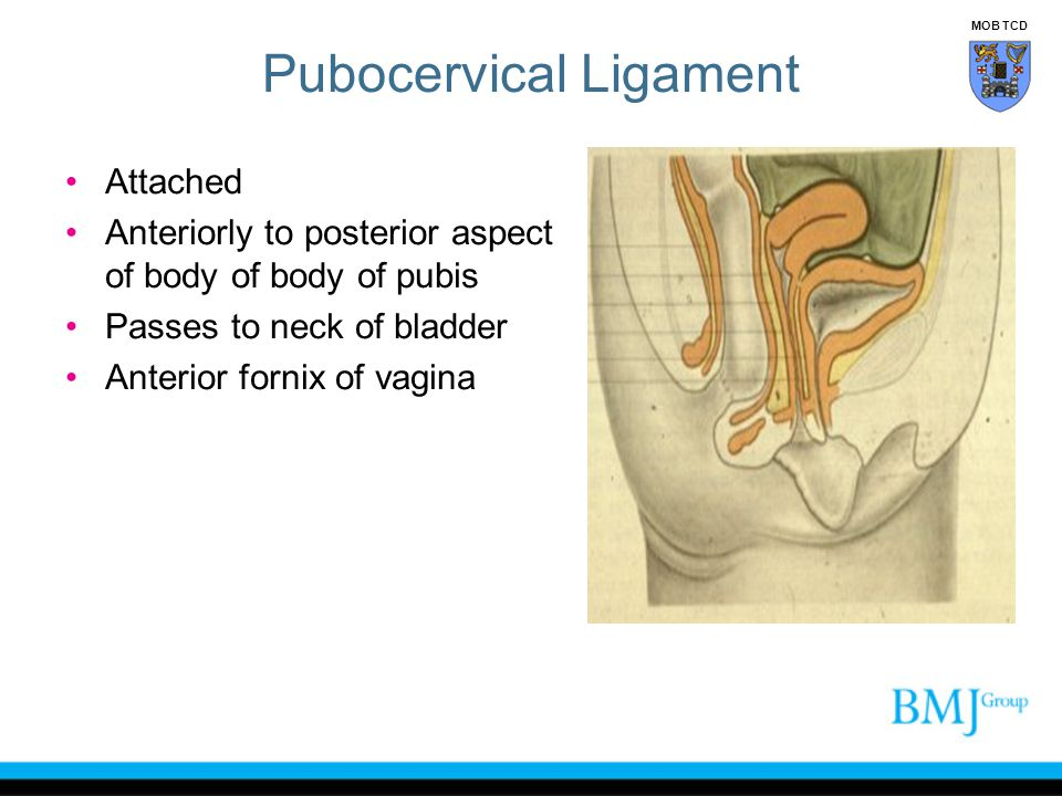 Pubocervical Ligament