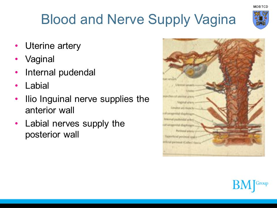 Blood and Nerve Supply Vagina