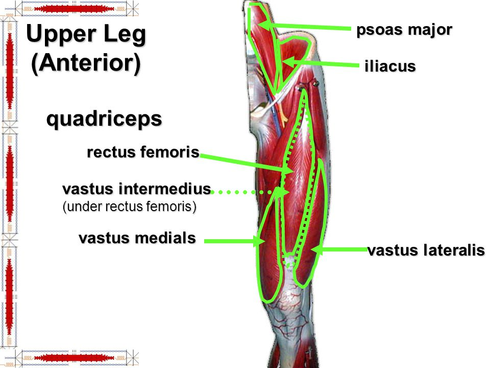 Upper Leg (Anterior) quadriceps psoas major iliacus rectus femoris