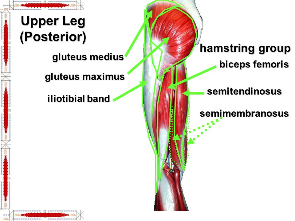 Hip lower limb muscles ppt video online download 4 upper ccuart Choice Image