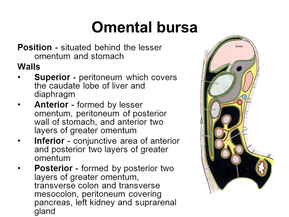 Omental bursa Position-situated behind the lesser omentum and stomach