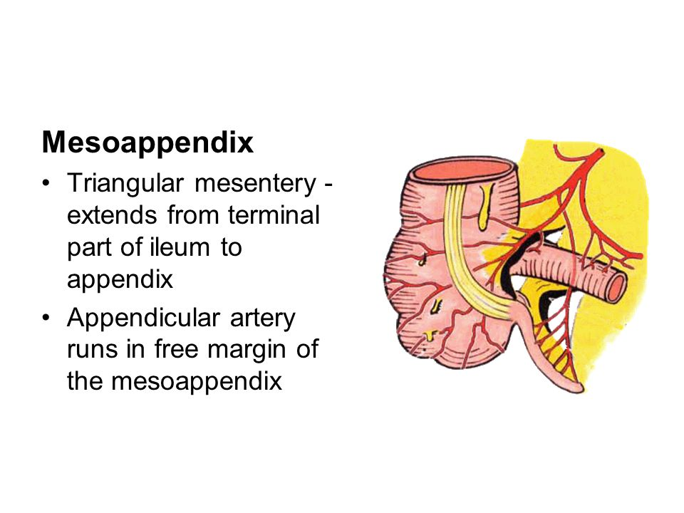 Mesoappendix Triangular mesentery-extends from terminal part of ileum to appendix.
