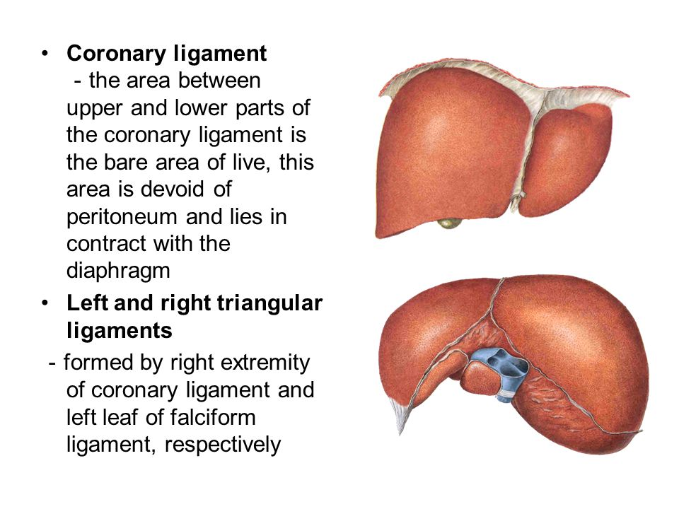 Coronary ligament -the area between upper and lower parts of the coronary ligament is the bare area of live, this area is devoid of peritoneum and lies in contract with the diaphragm