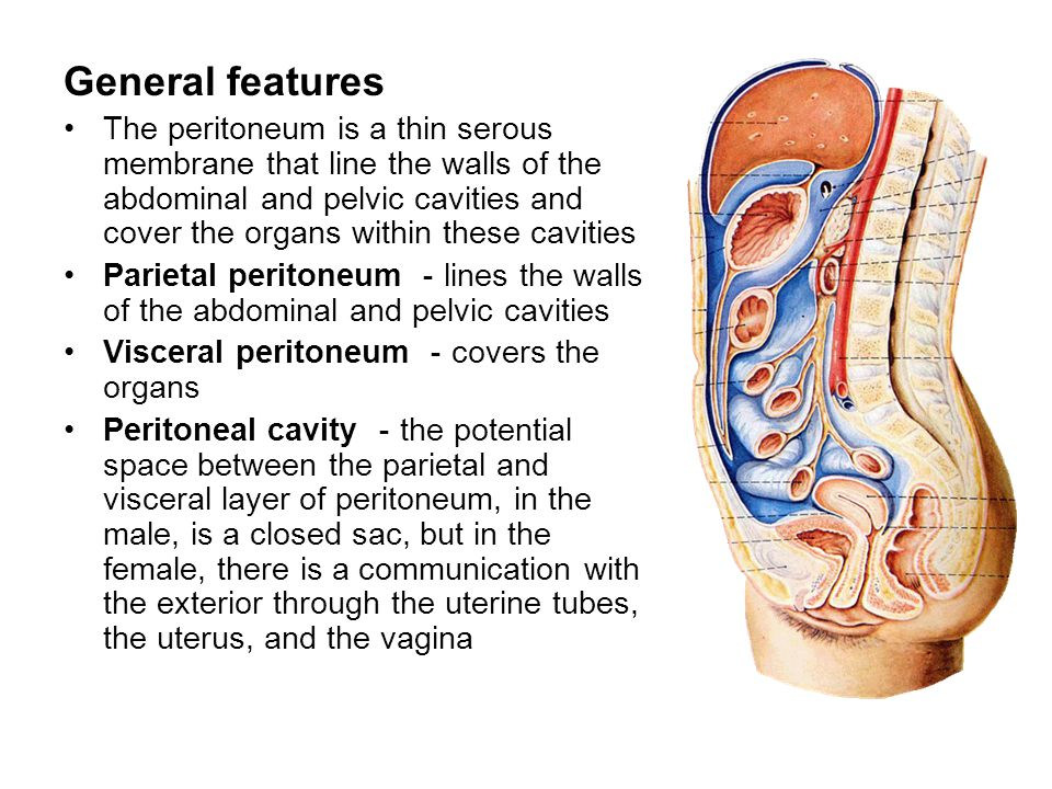 The peritoneum. - ppt video online download