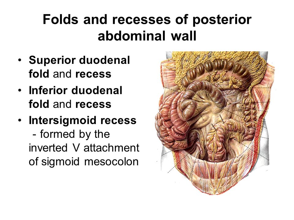 Folds and recesses of posterior abdominal wall