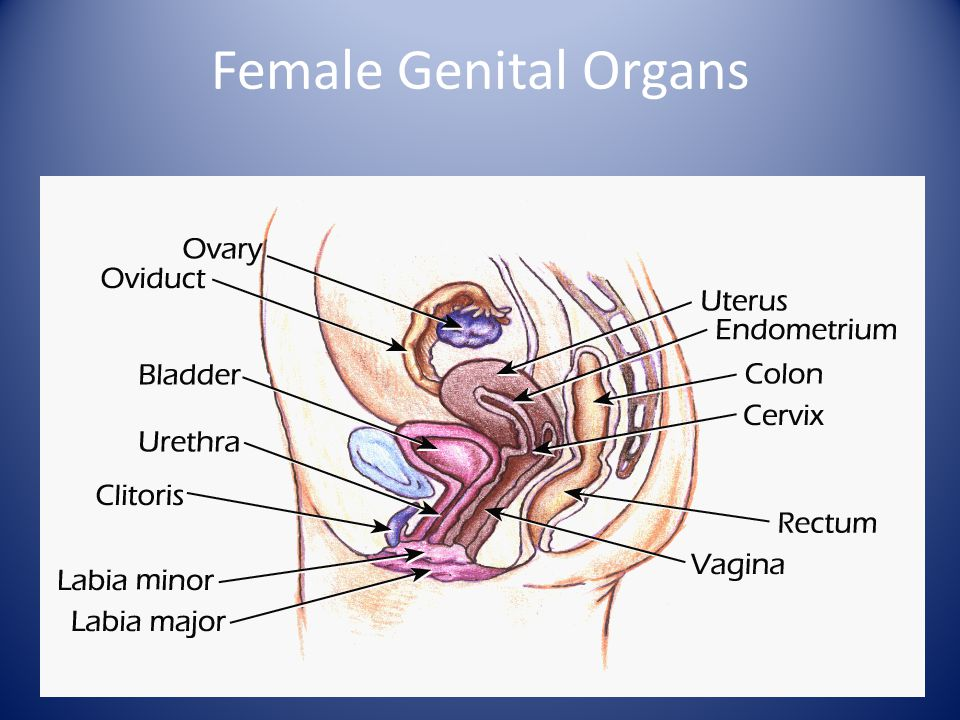 Anatomy of the Female Genital Tract & Pelvic Floor - ppt video ...