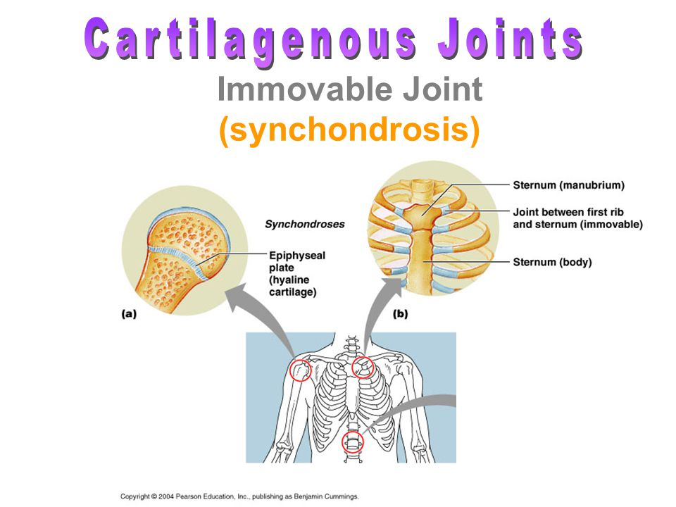 Joints Ch Ppt Download At cartilaginous joints, bones are united by hyaline cartilage to form a synchondrosis or by fibrocartilage to form a symphysis. joints ch ppt download