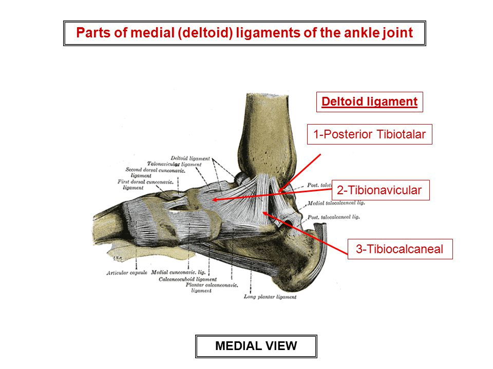 Parts of medial (deltoid) ligaments of the ankle joint