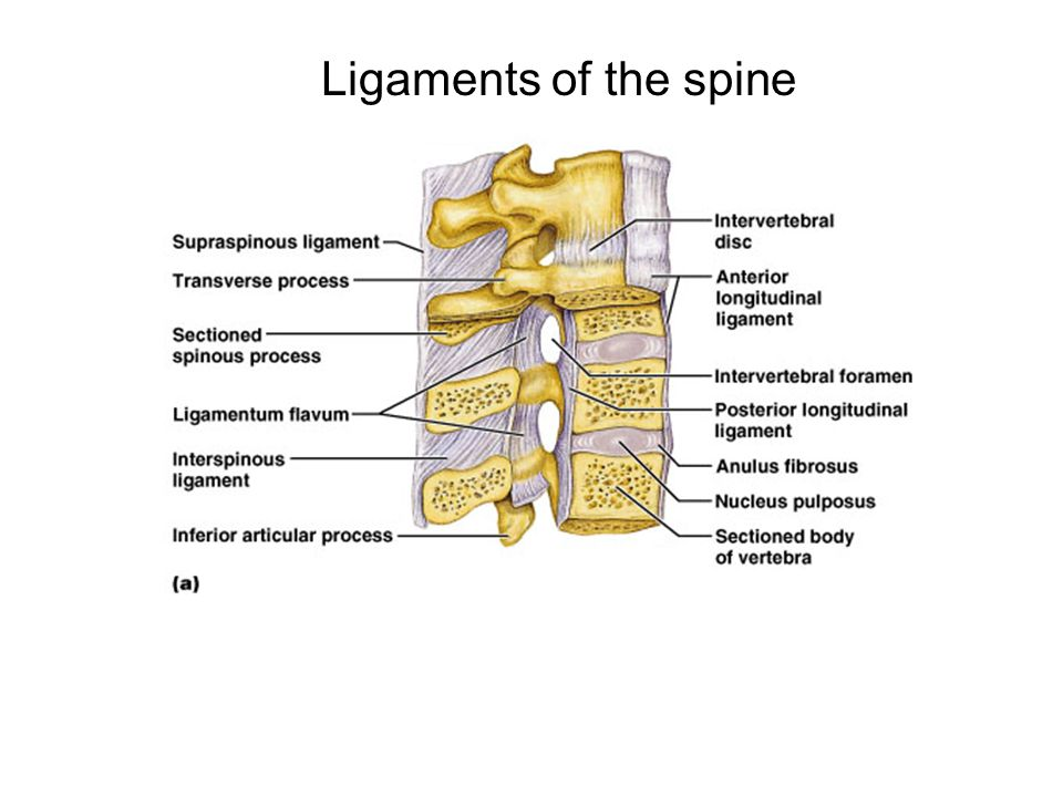 Anatomy and Mobility of the Spine - ppt video online download