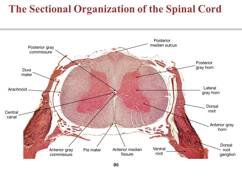 Lecture 9 Chapter 13 The Spinal Cord And Spinal Nerves Pages