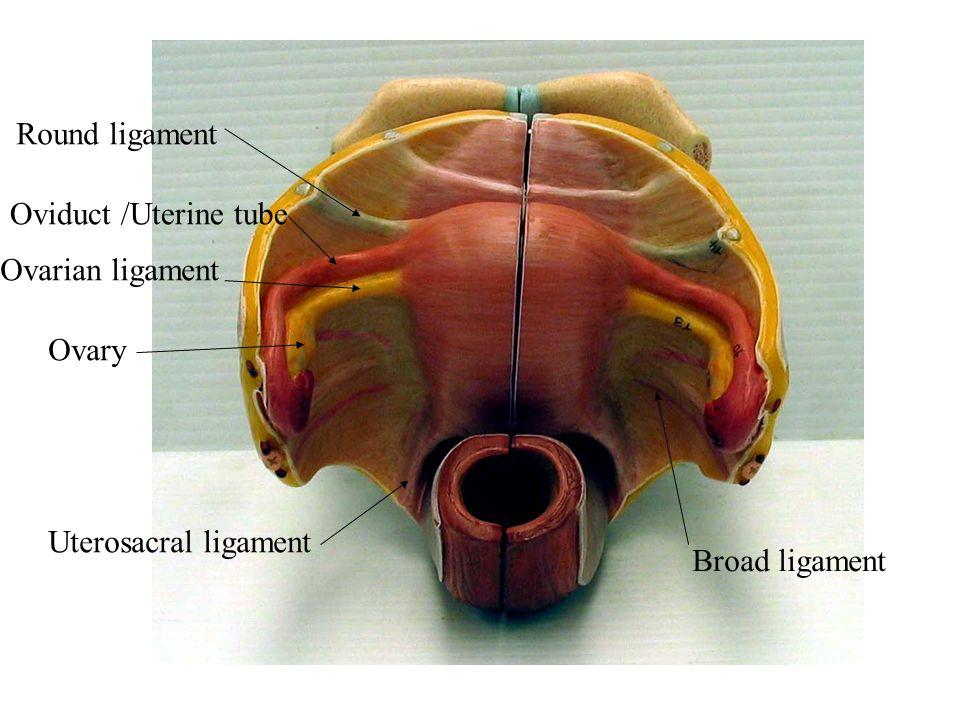 Pubic Symphysis Ligaments