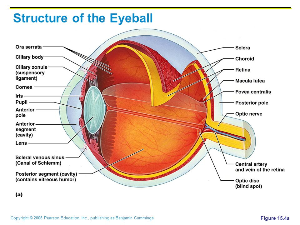 Extrinsic Eye Muscles Figure 153a B Ppt Video Online Download