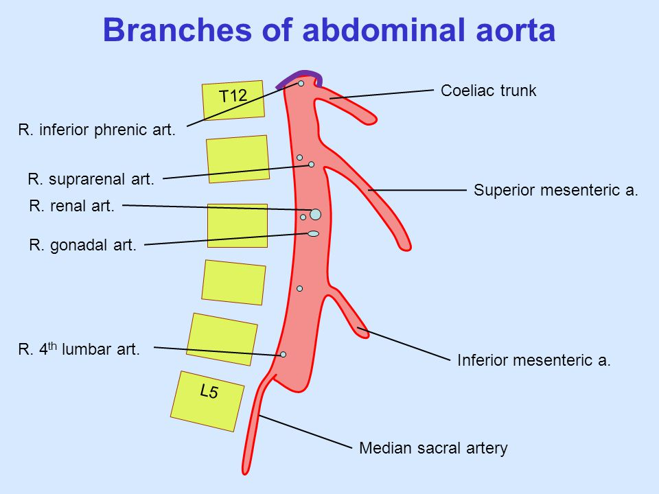 Abdominal Aorta Branches Anatomy Images - human body anatomy