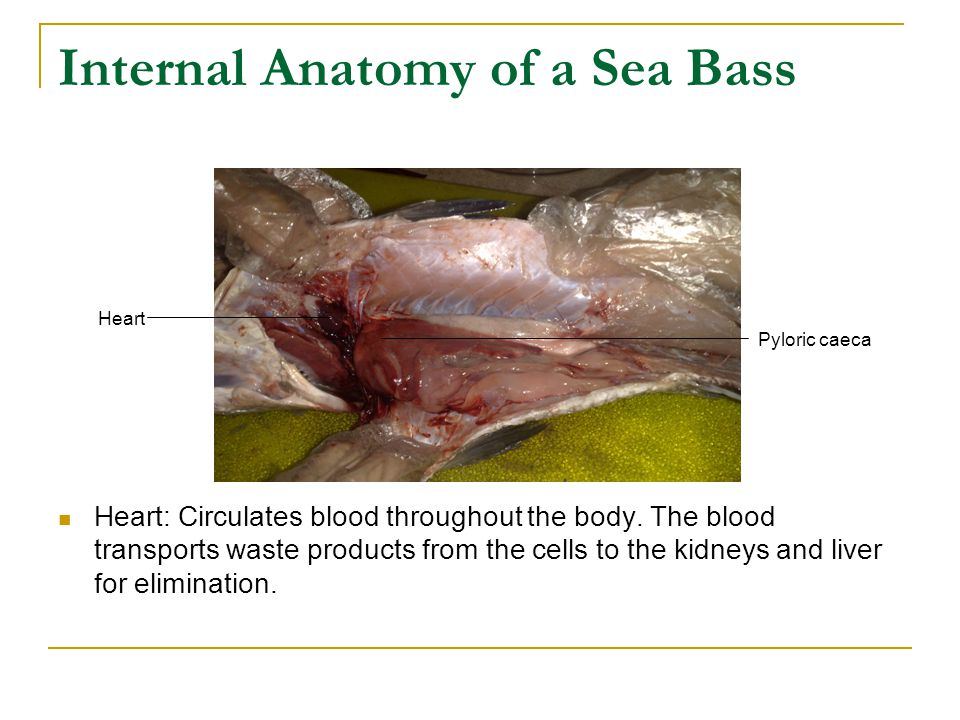 Dissection of a Sea Bass - ppt download