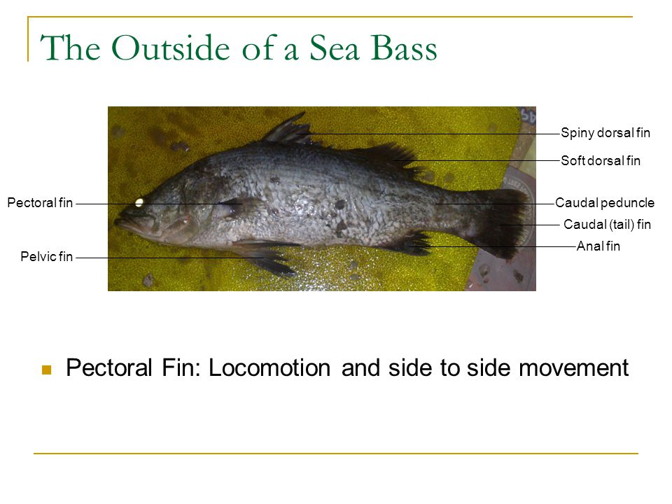 Dissection Of A Sea Bass Ppt Download