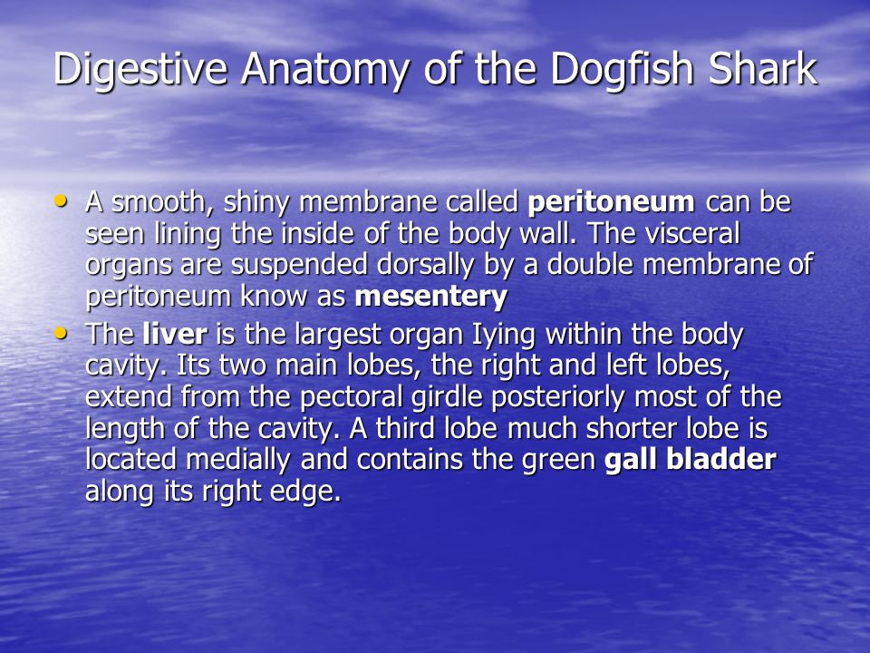 Dogfish Shark Squalus Acanthius Dissection Anatomy And Physiology