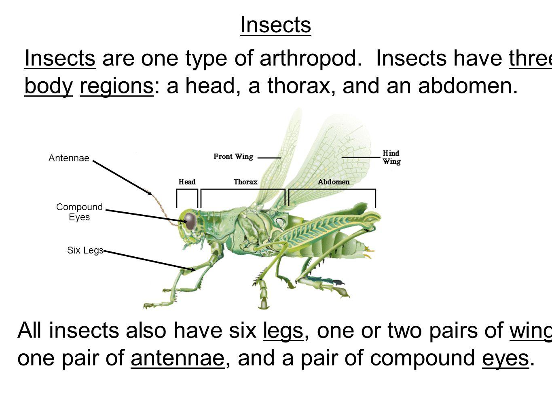 Grasshopper Dissection - ppt video online download
