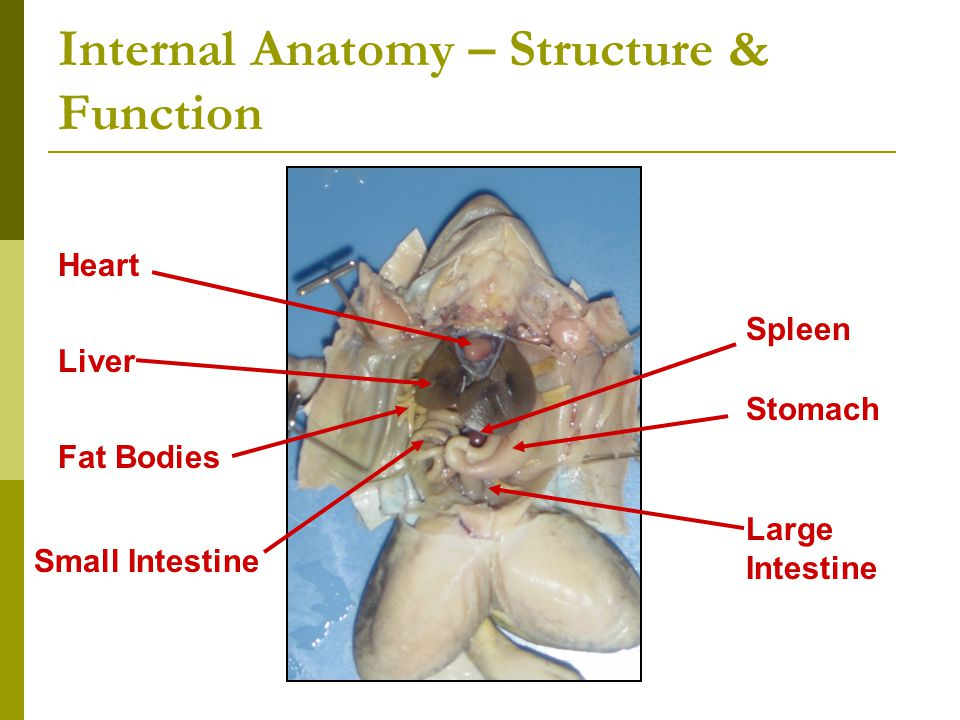 Frog dissection ppt video online download 9 internal ccuart Gallery
