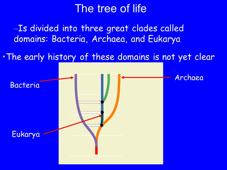 The tree of life Is divided into three great clades called domains: Bacteria, Archaea, and Eukarya.