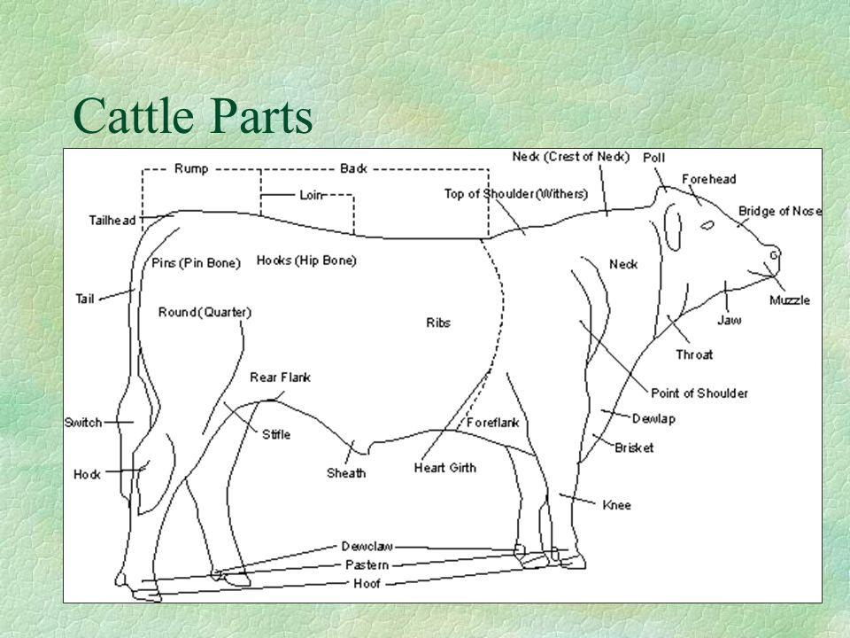 Cattle+Parts introduction to animal science ppt video online download