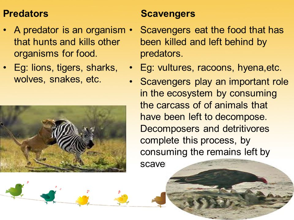 Predators Scavengers. A predator is an organism that hunts and kills other organisms for food. Eg: lions, tigers, sharks, wolves, snakes, etc.