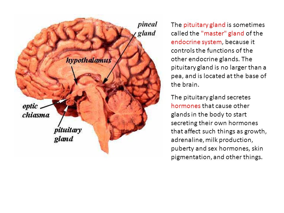 Endocrine system ppt video online download the pituitary gland is sometimes called the master gland of the endocrine system because it ccuart Image collections