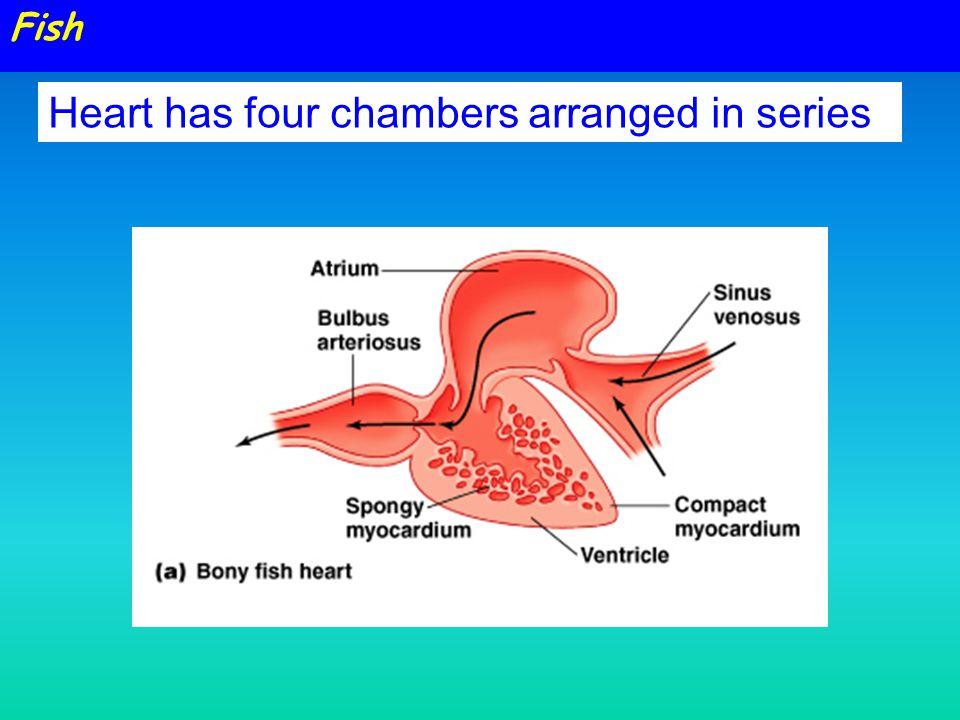 Fish Heart Chambers Diagram Free Car Wiring Diagrams