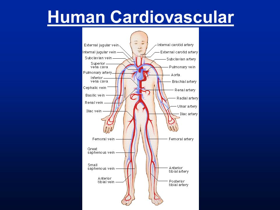 Circulatory System Cardiovascular System Heart Blood Vessels And