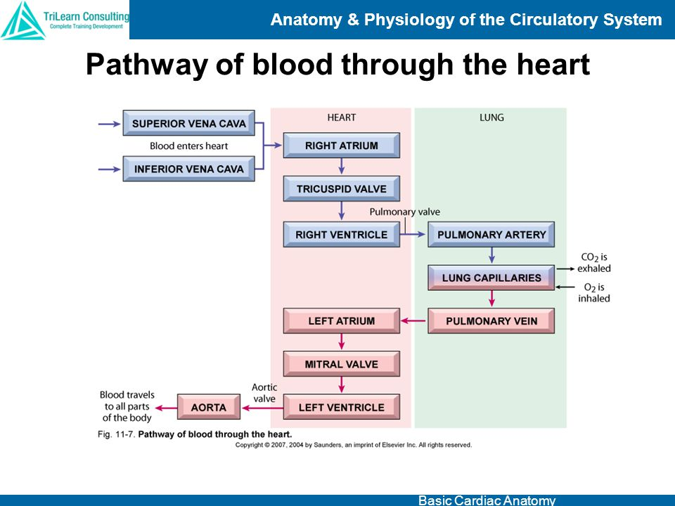 Anatomy And Physiology Of The Circulatory System Ppt Video Online