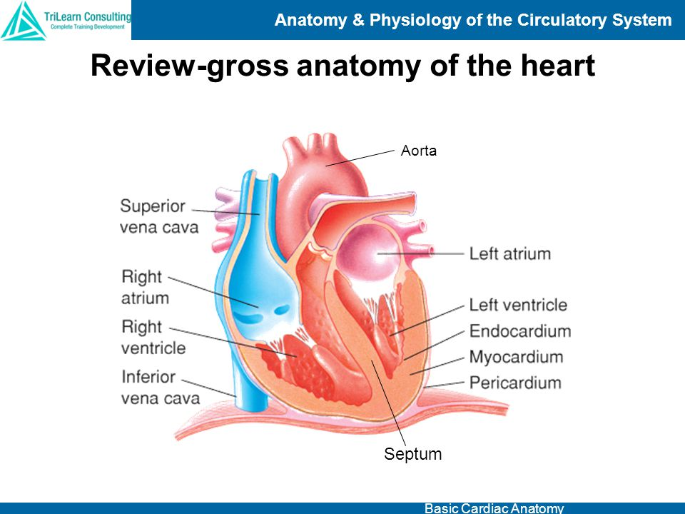 Fantástico Basic Anatomy And Physiology Of The Heart Friso ...