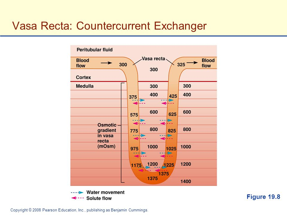 Vasa Recta: Countercurrent Exchanger