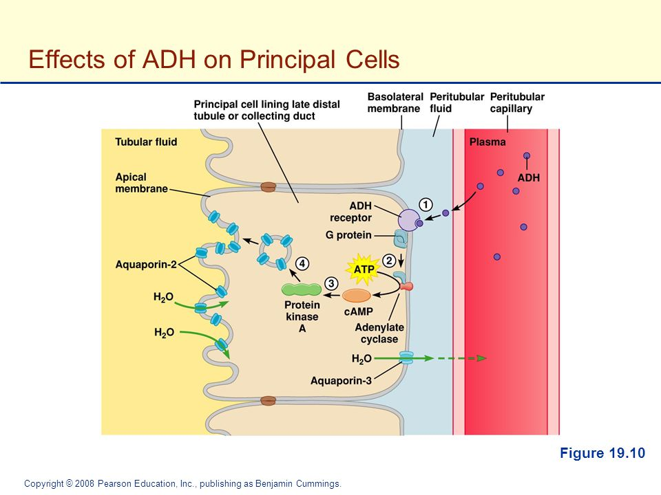 Effects of ADH on Principal Cells