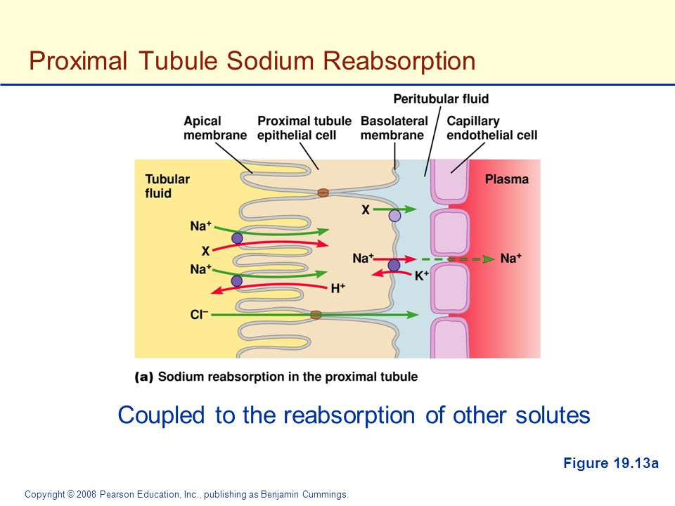 Proximal Tubule Sodium Reabsorption