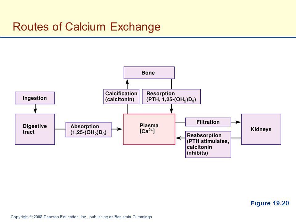 Routes of Calcium Exchange