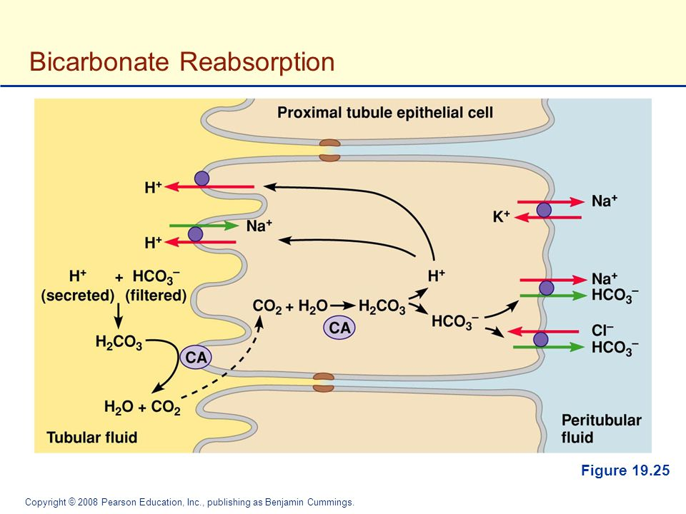 Bicarbonate Reabsorption