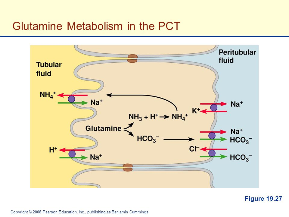 Glutamine Metabolism in the PCT