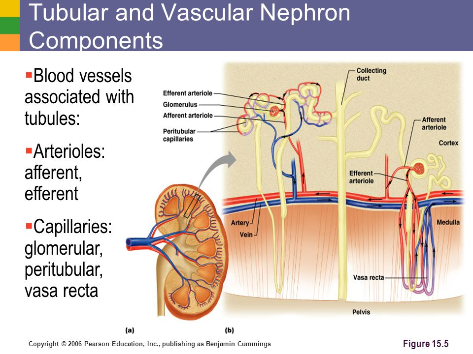 Tubular and Vascular Nephron Components