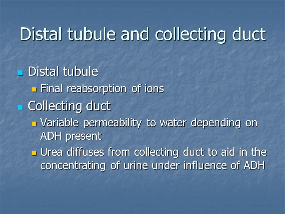 Distal tubule and collecting duct