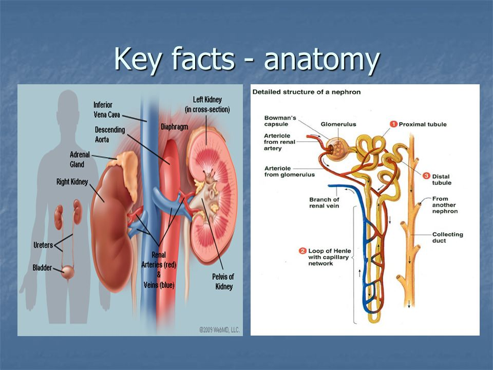 Key facts - anatomy