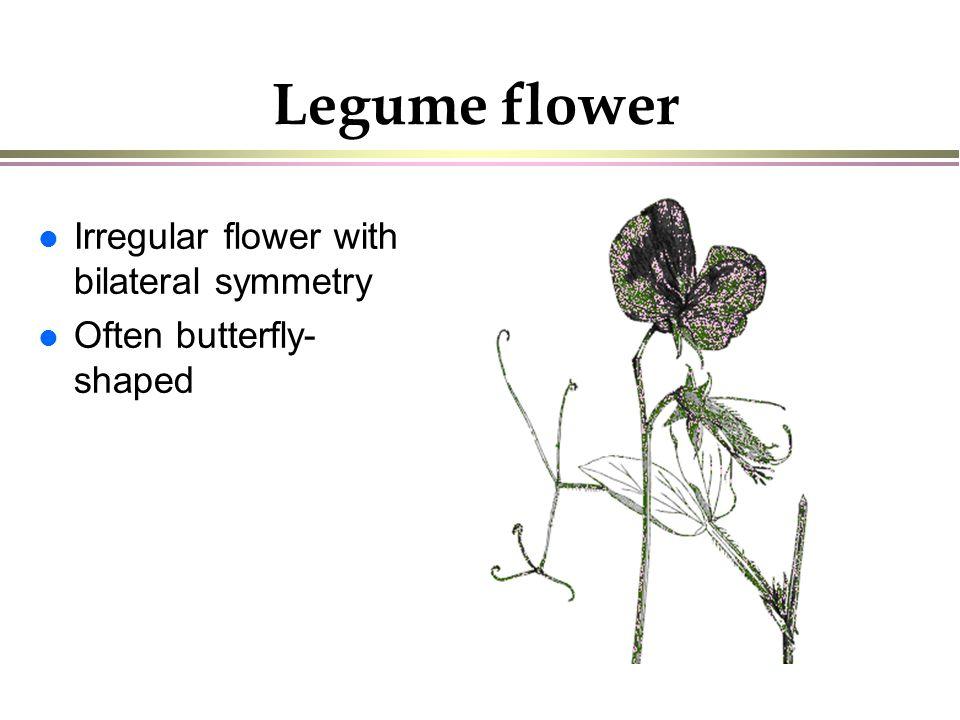 Legumes ppt download 4 legume flower ccuart Choice Image