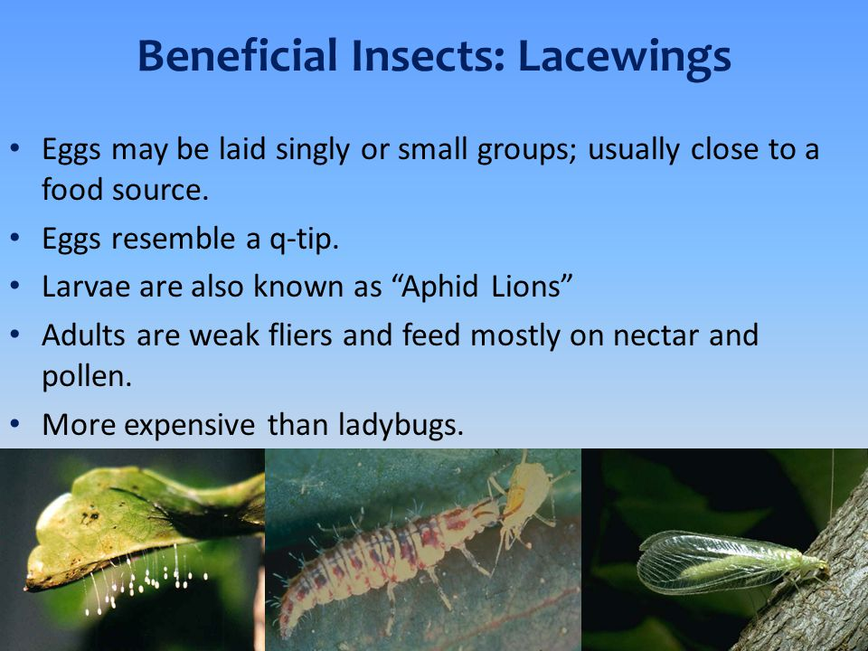Beneficial Insects: Lacewings